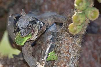 gibridnaya-iguana_002